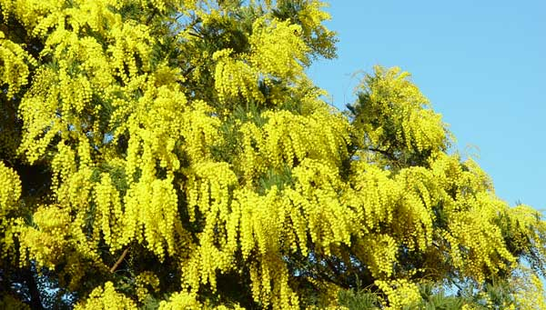 Mimosa paths in provence mimosa en provence mightylinksfo